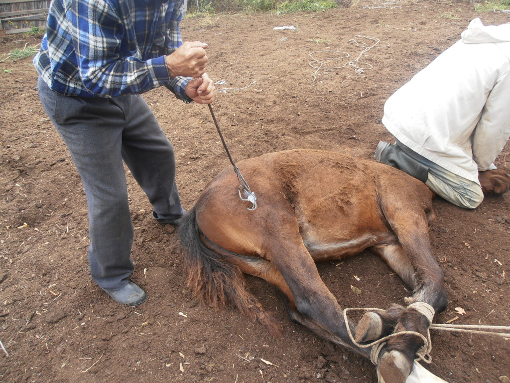 Как только лошадь была готова, раскаленное тавро быстро передавали для выжигания